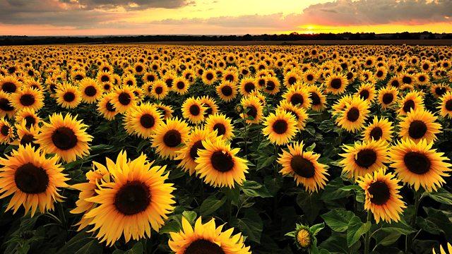 سورج مکھی کا تیل امراض قلب کیلئے مفید، محکمہ زراعت
