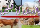 پاکستان میں گائیوں کی مختلف نسلیں