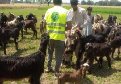 بھیڑ ٗ بکریوں کی فوری  ویکسی نیشن کی ہدایت