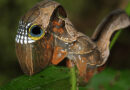 چہرہ خوفناک بناکر شکار سے بچنے والا کیڑا''کیٹر پلر''