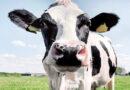 گائے کی ڈکاروں کو کم کرکے منافع کمانے کا منصوبہ