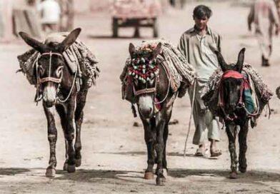 ملک میں گدھوں کی تعداد میں ایک لاکھ کا اضافہ