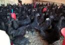 ''کڑک ناتھ مرغی''،سر سے پاؤں تک سیاہ ،گوشت بھی سیاہ