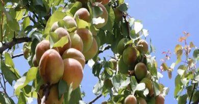 ناقابل یقین،40مختلف پھل اگانے والا ایک درخت