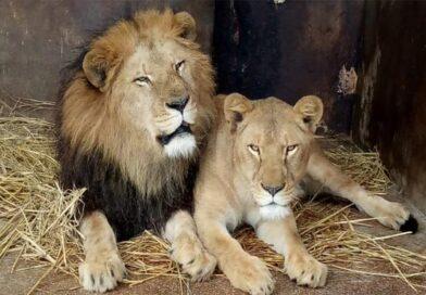 شیروں میں اضافہ:چڑیا گھر،سفاری پارک انتظامیہ کیلئے خرچہ اٹھانا مشکل